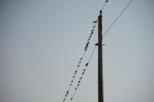 highwire dove