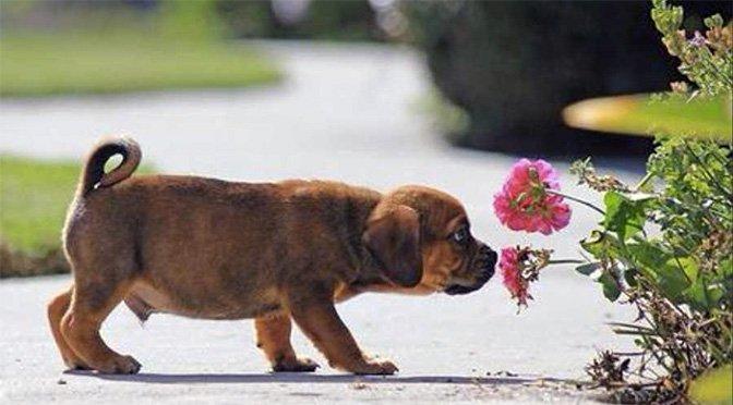 puppy-smelling-flower